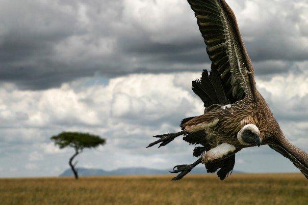 Vulture in Masai Mara Reserve
