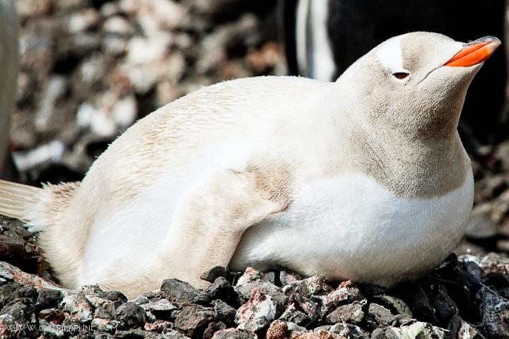 albino-penguin