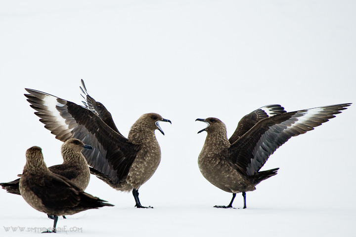 antarctica-scua-birds
