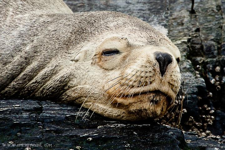 Ushuaia-sea-lion