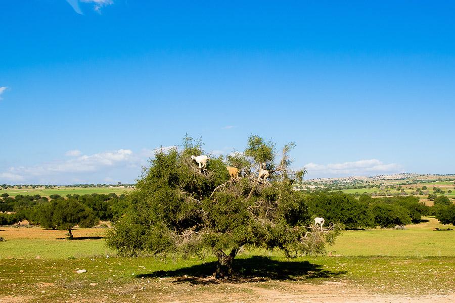 Goat climbing argan trees Morocco