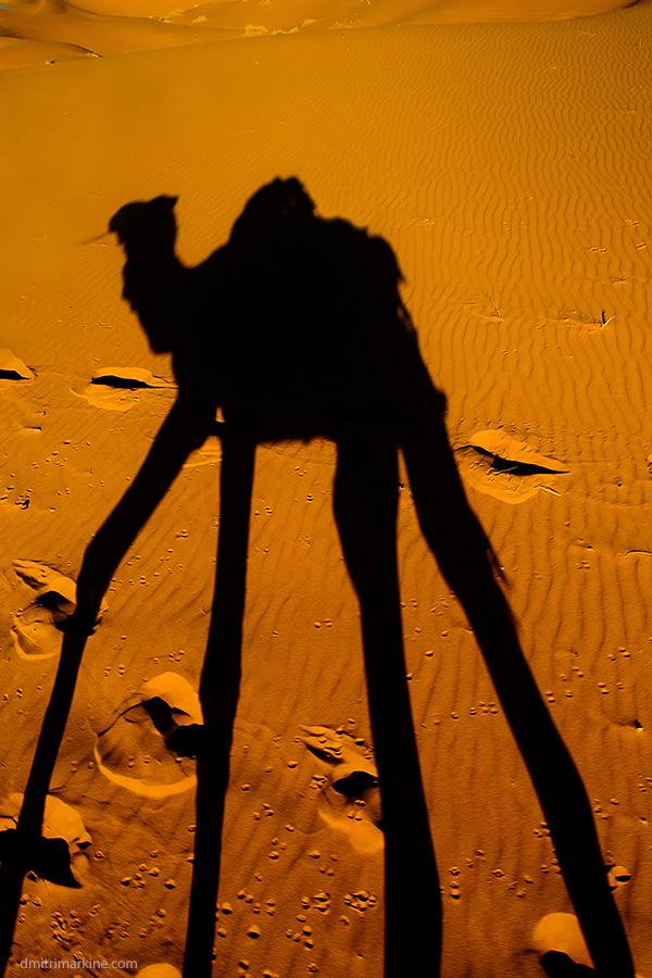 Sahara Camels