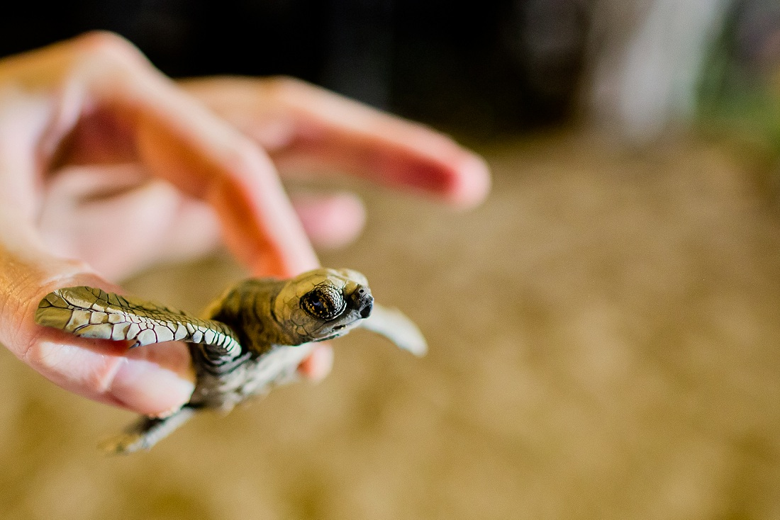 baby turtles Costa Rica beach