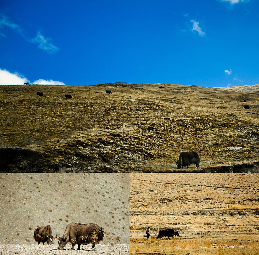 pictures of yaks in tibet